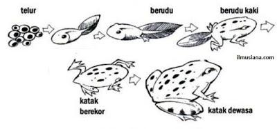 Sistem Organ Pada Amfibi Biologyweb